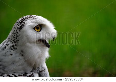 Close-up Of Female Snowy Owl. Photography Of Wildlife.