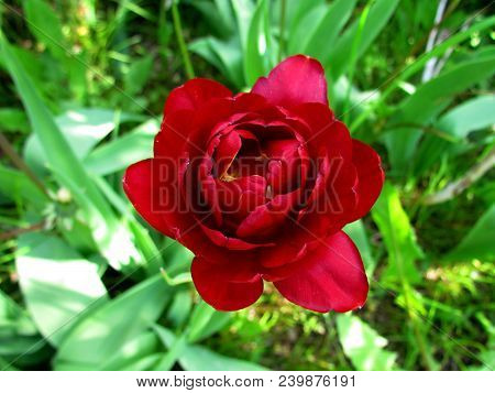Full-flowered Tulip, Rich Blossom In Red And Yellow, Top View, Close-up