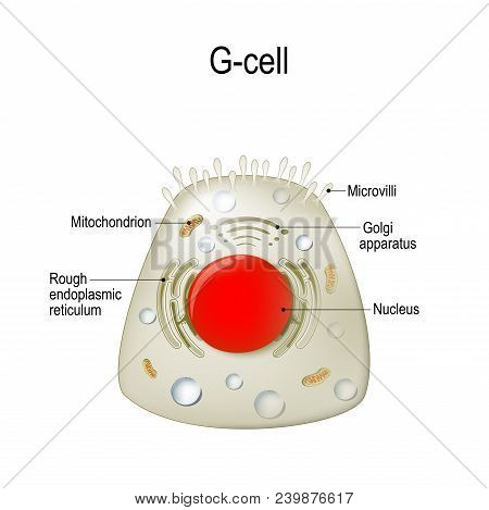 Anatomy Of A G-cell. This Cells Are Located In The Gastric Glands Into Stomach. G Cell Is A Type Of