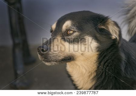 Focus On Beautiful Young Black And Brown Mixed Breed Doggy Sitting Outside. Cute Pet Looking Aside W