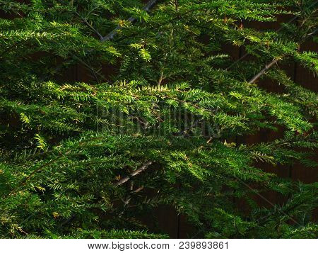 A Hemlock Trees Spreads Its Needled Branches Offering A Textured Backdrop For Many Purposes. Layers