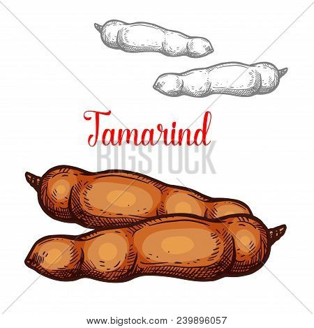 Tamarind Exotic Fruit Sketch Isolated Icon. Vector Botanical Sketch Design Of Whole Or Tropical Tama