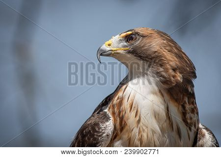 A Close Up Portrait From A Low Angle Of A Red Tailed Hawk With The Sky In The Background And Looking