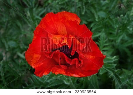 Bright Giant Red Poppy Flower In Botany Garden, Top View.