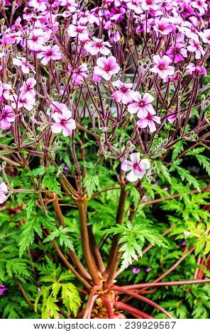 Evergreen Perennial Flowering Plant Geranium Maderense, Known As Giant Herb-robert Or The Madeira Cr