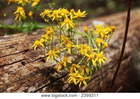 Golden Ragwort Senecio Aureus L