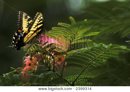 Male Tiger Swallowtail Butterfly & Mimosa