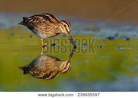 Common Snipe - Gallinago Gallinago Wader Feeding In The Green Water, Lake