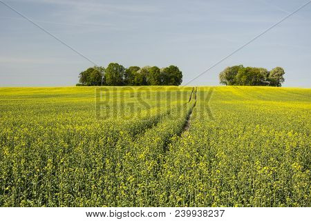 Wheel Tracks In The Yellow Rape Field, Trees And Blue Sky.