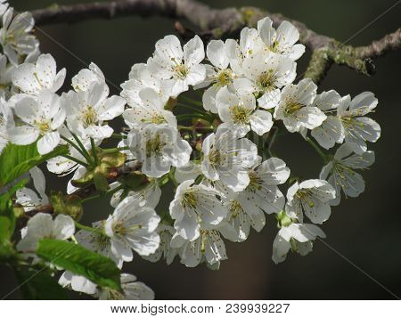 White Cherry Blossom Close-up With A Blurred Background, Detail Of White Flowers