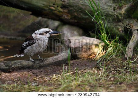 Close-up Portrait Of A Laughing Kookaburra Bird. Photography Of Wildlife.