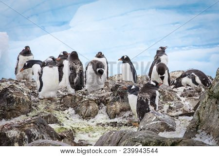 A Group Of Gentoo Penguins At Western Antarctic Peninsula Penguins At Western Antarctic Peninsula Pe