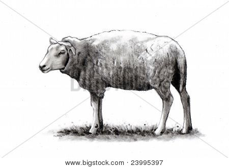 Pencil Drawing of Lone Sheep