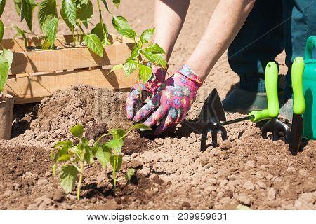 Seasonal Planting Of Plant Vegetables. Female Farmer Planting Seedling Plant Of Pepper With Leaves I