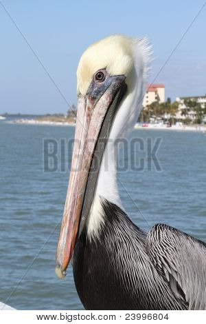 Stately Pelican