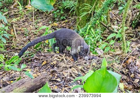 White-nosed coati (Nasua narica), also known as the coatimundi, looking for something eatable on the ground in Monteverde, Costa Rica. poster