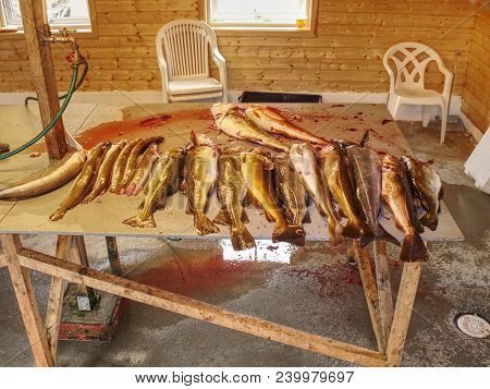 Freshly Caught Coalfish On Plastic Table Board With Other Catches. The Fish Last Opening His Mouth A