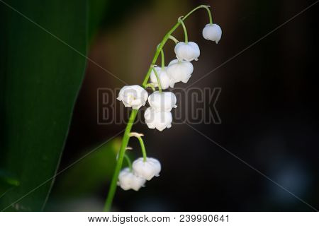 Blossoming Lily Of The Valley. Lily-of-the-valley. Convallaria Majalis.spring Background. Flower Of