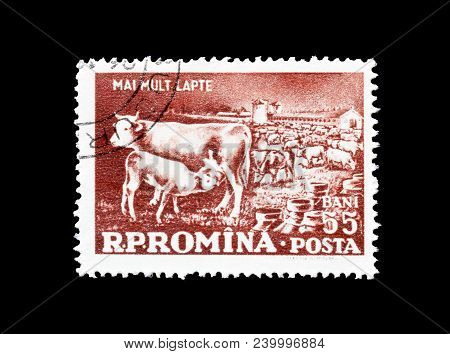 Romania - Circa 1959 : Cancelled Postage Stamp Printed By Romania, That Shows Cows.