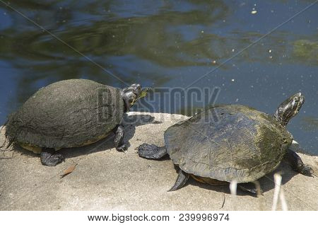Two Turtles Warm Themselves In The Sun In Near A Lake In A Park In Wilmington,north Carolina
