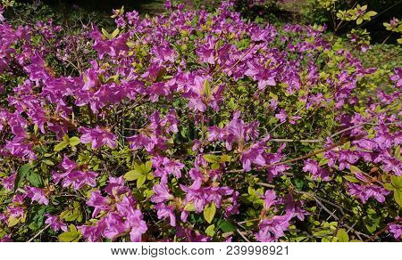 The Magnificent Bloom Of The A Bush Of Pink Rhododendron In The Garden In Spring. Rhododendron Poukh