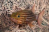 Cardinalfish over soft coral. poster
