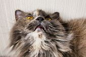 British long-haired gray cat looks up, on beige background. poster