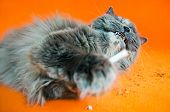 British long-haired gray cat holds cigarette in paws on orange background poster