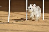 Miniature Schnauzer Weaving Through Weave Poles at a Dog Agility Trial poster