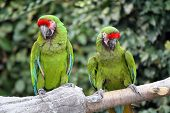 Two Military Macaws (Ara Militaris) large parrots native to the forests of Mexico and South America poster