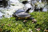 Red-eared slider - Trachemys scripta elegans - Couple on the shores poster