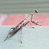 Praying Mantis, Side view with focus on head, mouth parts & spiked forelegs poster