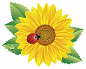 vector sunflower and red ladybird on white background poster