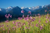 lychnis flos-cuculi in mountainous landscape, allgau alps. selective focus. poster