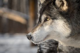 Grey Wolf (canis Lupus) Close Up Profile - Captive Animal