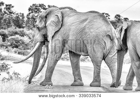 An African Elephant With Large Tusks Crossing A Road In The Mpumalanga Province Of South Africa. Mon