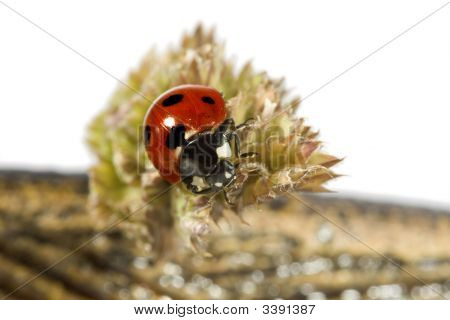 Lady Bug On Plant