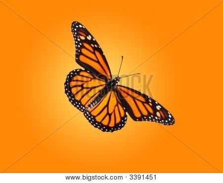 Monarch Butterfly Isolated On Background