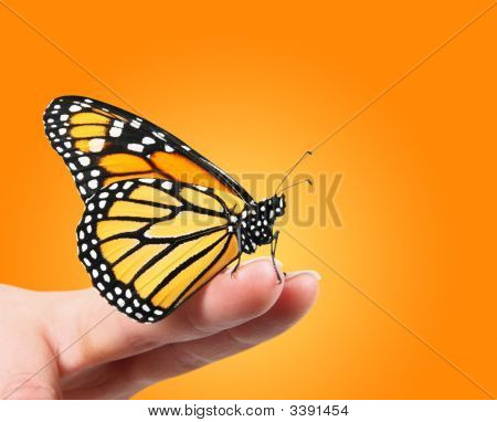 Monarch Butterfly On Finger Tips
