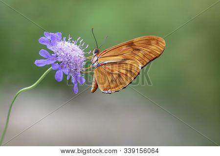 Beautiful Julia Butterfly, Julia Heliconian, The Flame, Or Flambeau (dryas Iulia) Feeding On Blue Fl
