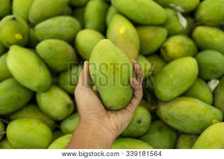 Male Hands Holding A Green Juicy Fresh Mango Fruit With A Lot Of Green Mangoes On A Background. Grou
