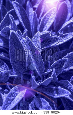 Stahis Woolly Or Stahis Leaves Of Plants That Create Plant Background Tinted In A Magical Blue Color