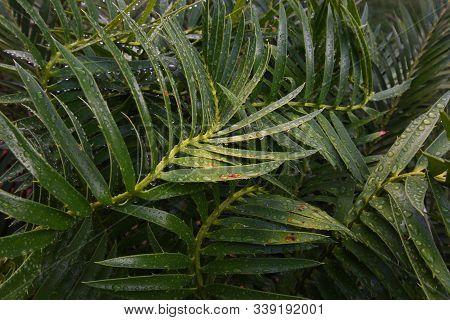 Wet Green Cycad Leaves Abstract (encephalartos Sp.), Pretoria, South Africa