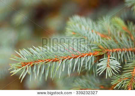 Blue Or Silver Spruce Needles Texture Background. Engelmann Spruce Pattern. Nature Texture Of Picea