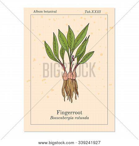 Fingerroot Boesenbergia Rotunda , Or Chinese Keys, Lesser Galangal, Eatable And Medicinal Plant. Han