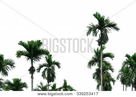 Areca Nut Palm (areca Catechu). Betel Nut Palm Tree Isolated On White Background. Commercial Crop. T