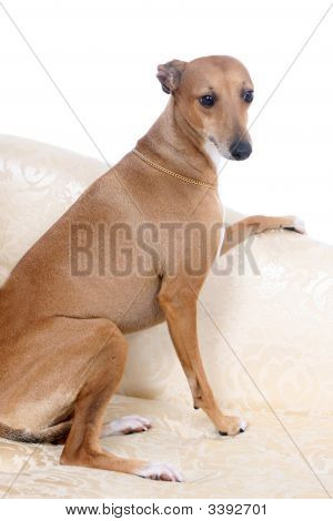 Italian Greyhound Sitting On Couch