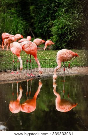 Pink Flamingos In Nature. A Group Of Pink Flamingos Hunting In The Pond. Oasis Of Green In Urban Set