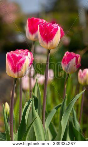 Tulip (tulipa), Close Up Of The Flower Of Spring