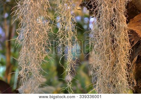 Beautiful Tillandsia Usneoides Or Spanish Moss